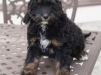 Rika is a beautiful tri-color mini Bernedoodle who is