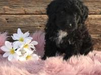 Bailey is a Gorgeous Mini Bernedoodle, she has been