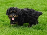 Skyla is a beautiful tri-color mini Bernedoodle who is
