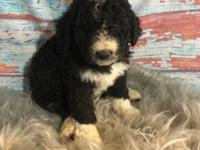 Saxton is a gorgeous bi-color F1b Standard Bernedoodle,