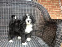 We have 3 beautiful bernedoodle female pups now