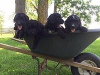 This is a beautiful litter of Bernedoodle pups. They