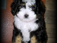 Bernedoodle Babies offers the finest Bernedoodle