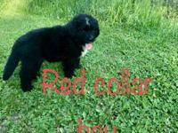 We have 1 female and 2 male Bernefie puppies left for