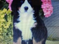 Beautiful Bernese male and female ready and available