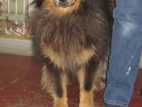 Bernese Mountain Dog - Bree - Large - Senior - Female -