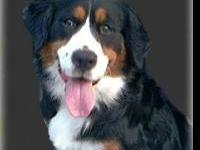 Bernese Mountain Dog - Example - Female - Large - Adult