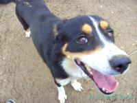 Bernese Mountain Dog - Isiah - Large - Senior - Male -