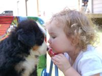 We have AKC Bernese Mountain Dog Puppies Sire is