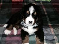 Gorgeous Bernese Mountain Dog puppies all set for their