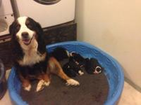 We have a beautiful litter of Bernese Mountain