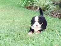 Beautiful pure bred Berner pups for sale. Dam and sire
