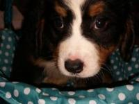 Beautiful Bernese puppies for sale. $500 OBO Please