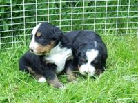 Born April 10, 2014. Purebred Bernese Mountain Pet