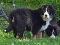 AKC BERNESE MOUNTAIN DOG 4 MONTHS - BEAUTIFUL BOY HE'S