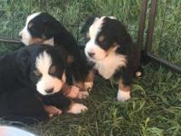 Bernese mountain dog pups, AKC registered, top quality.