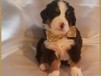 Beautifully marked male Bernese puppy available for