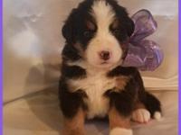 Beautifully marked female Bernese puppy available for