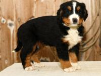 Check out this Amazing AKC Bernese Mountain Dog puppy!