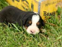 This is Beau! He's AKC registerable! He will make a