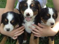 I have 1 male and 1 female ACA registered Bernese