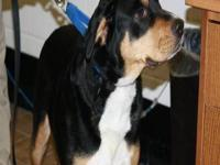 Beautiful Bernese male housebroken and crate trained,