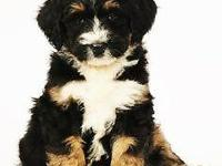I breed Bernese Mountain Dogs with Poodles or Bernese.