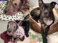 Berry came to us with a severe case of demodex mange,