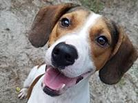Bert's story Bert is a sweetheart of a Beagle mix,