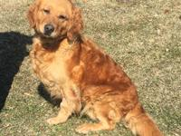 Bessie is a 5 year old Golden Retriever. She came as a
