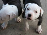 ADBA registered pure APBT Pups Pedigrees are Pure Colby