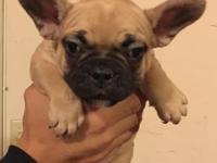 French bulldog puppies ready to go! 9 weeks old 2 males