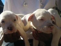 10 pitbull terrier puppies from strong bloodline Mom is