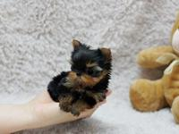 Best-teacup Yorkshire Terrier Puppies for loving