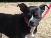 BETSY is a young female Boston terrier mix.  We think