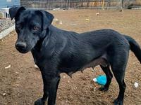 Betty Jo (Black Lab) (Momma) (SPAYED)'s story Momma was