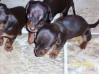 I have 4 Choc/Tan Mini Dachshunds Available August12th.