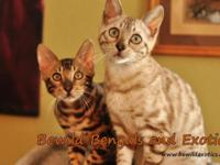 Bewild Bengals and Exotics provides to you exotic