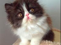 I have a 61/2 week old persian kitties who are gorgeous