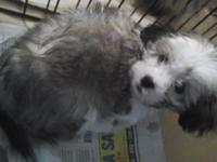 I have a male and female bichion/ Shih tzu x. Very