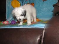 A Bich-Poo Puppy Mix. 11 weeks old. Very Playful. has a