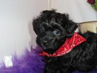 Leo is a gorgeous black Bichpoo puppy with white on his