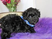 Sammy is a gorgeous black Bichpoo puppy with white on