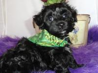 Jax is a gorgeous black Bichpoo puppy with white on his