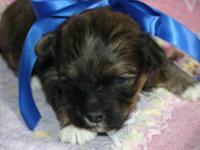 Yorkie Poo Pets And Animals For Sale In The Usa Puppy And Kitten
