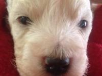 Adorable new litter of Bichi-poo babies arrived on