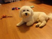Very handsome male 1 yr old PURE Bichon FRISE *From