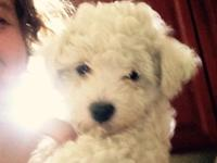 2 male Bichon Frise puppies are ready now. Born April
