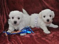 Bichon Frise AKC puppies-purebred. Bichon Frise is