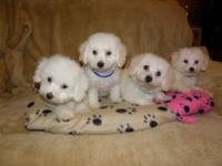 BICHON FRISE AKC PUPPIES WE HAVE BICHON PUPPIES THAT